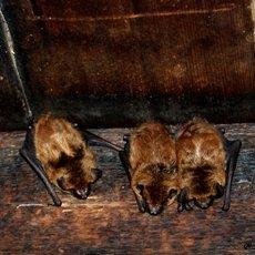 Как избавиться от летучих мышей под крышей дома