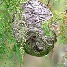 Как избавиться от осиного гнезда собственными руками